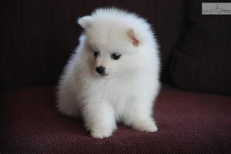 american eskimo puppy for sale american eskimo breed american eskimo breeder puppy for sale breeds picture