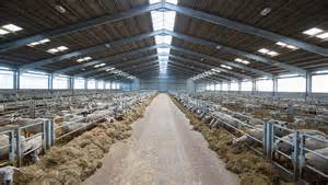sheep barn layout what s in your livestock shed ewes robots and clever