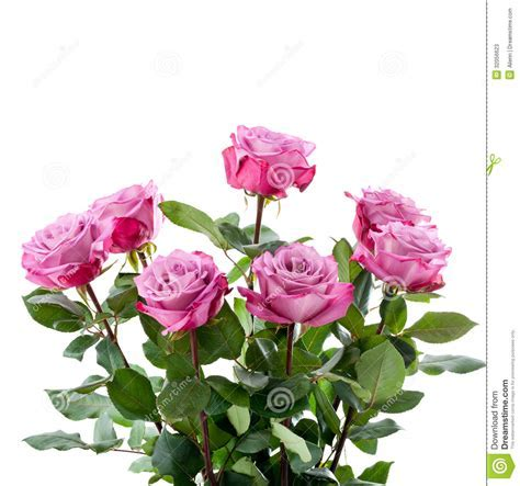 Purple Roses Bouquet On A White Background Stock Photos