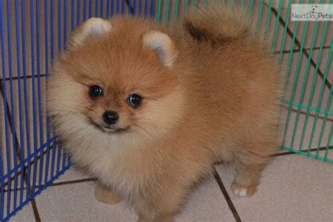 pomeranian near me pomeranian puppy for sale near a162a402 3df1