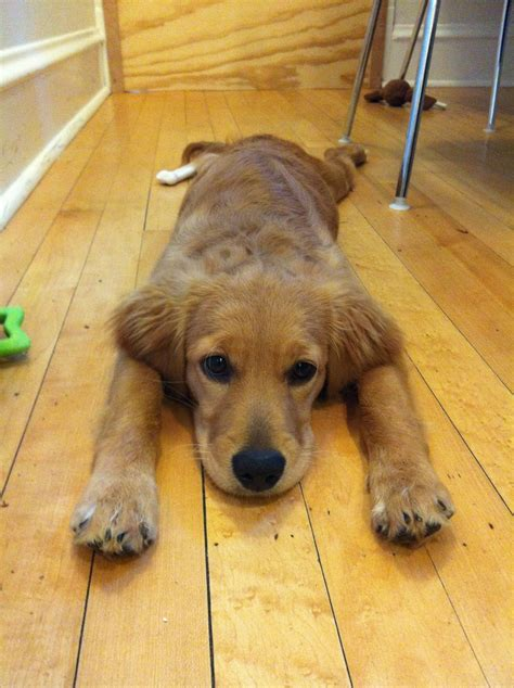 goldendoodle puppy thin coat flat coat miniature goldendoodle dogs