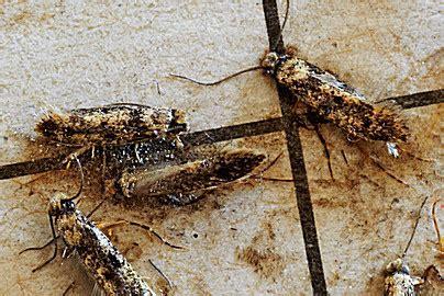 silberfische im ganzen haus motten kammerj 228 ger sch 228 dlingslexikon