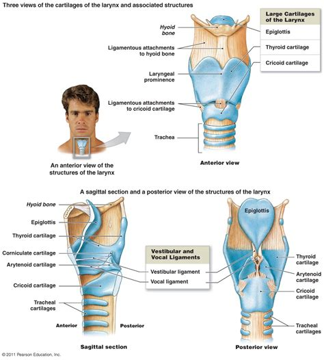 throat diagram labeled image gallery larynx diagram