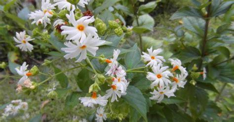 khasiat bunga kahyangan srigading  obat khasiat