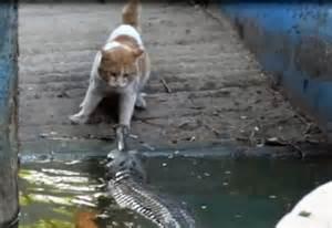 cat vs crocodile gap year