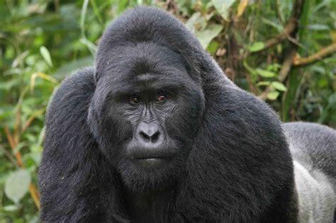 Fantastica Animal: The Amazing Gorilla