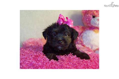 yorkie poo size yorkiepoo yorkie poo puppy for sale near st louis missouri 820d86fb 5431