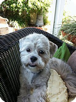 shih tzu rescue san diego san diego ca maltese shih tzu mix meet titus a puppy for adoption