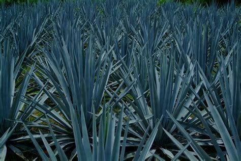 blue agave plant project noah