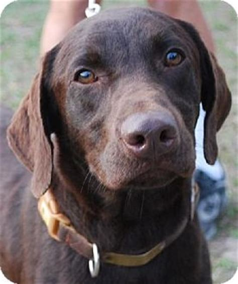 lab puppies florida adoptable labrador retrievers a collection of ideas to try about animals and pets