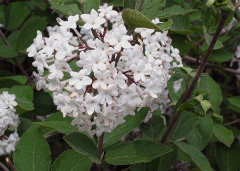 white flowering shrub identification shrub korean spice viburnum search fragrant