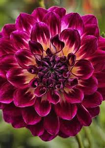 dahlia colors 17 best ideas about dahlias on dalia flower
