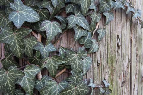 basics  growing english ivy hedera helix