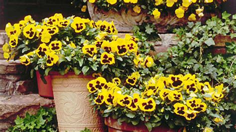 Pansies Viola Gardens Southern Living Pansy Garden Ideas