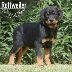 colorado rottweiler breeders rottweiler puppies 2018 calendar 15 multi orders 163 8 95 picclick uk