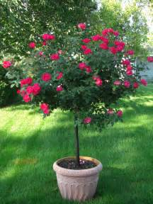 Patio Tree by Patio Plant Trends What S Brighter Blooms Nursery