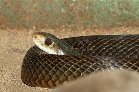 with snake scales stock image image of human design 31920181 taipan stock image image of highly dangerous scales 44863587