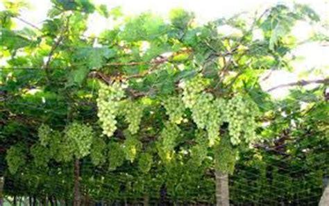 Bibit Semangka Kulit Kuning teknik terbaik budidaya buah anggur ogut dhezire