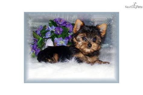 contented puppies paradise puppies for sale from 33525 nextdaypets