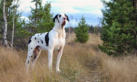 great dane dogs great dane dog breed info pictures petmd great dane the world s tallest dog breed information