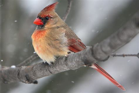 ontario backyard birds female cardinal ontario backyard birds dan flickr