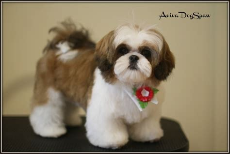 shih tzu grooming styles pictures groomer s coquitlam aviva dogspaw grooming coquitlam