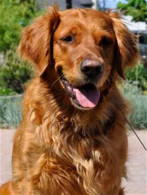 what color will my golden retriever be best 25 golden retrievers ideas on golden golden retriever