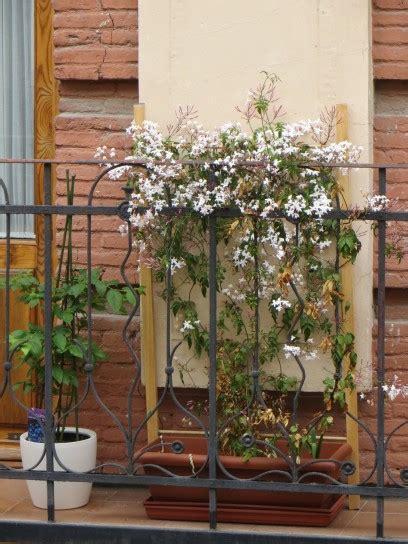 gelsomino in terrazzo piante ricanti da balcone foto pourfemme
