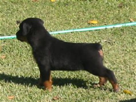 rottweiler puppies for sale dallas tx rottweiler puppies for sale
