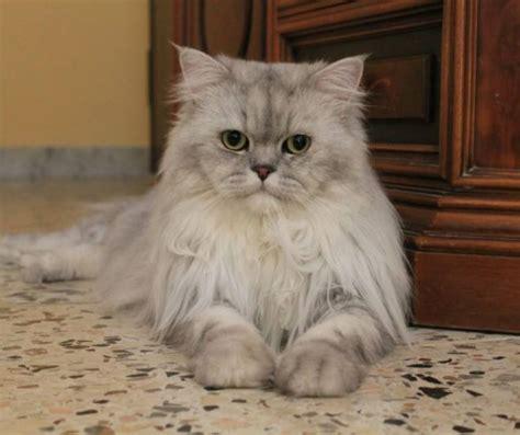 gatti persiani foto romeo gatto persiano in posa frontale petpassion