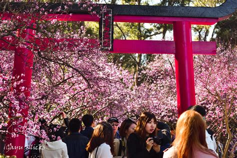 cherry blossom festival japanese culture traditions explore 8 traditional