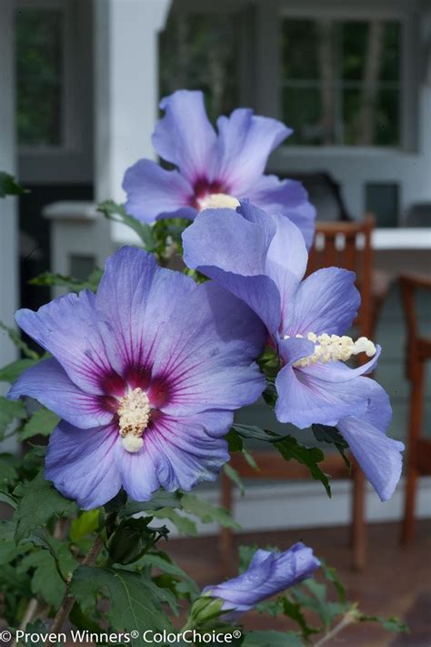 blue and purple hibiscus flower 381 best hibiscus rose of sharon images on pinterest