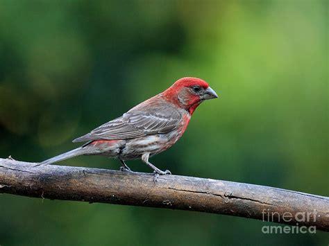 house finch bird 40d8331 photograph by wingsdomain art
