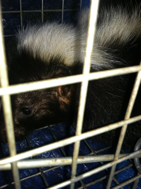 Removing Skunks From Shed Lapeer Skunk Removal Skunk Removal Michigan
