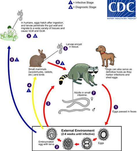 pinworm cycle diagram cdc dpdx baylisascariasis
