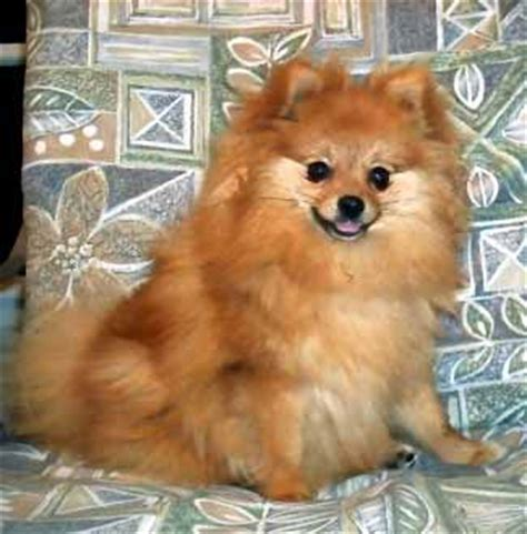 pomeranian span species arctic dogs