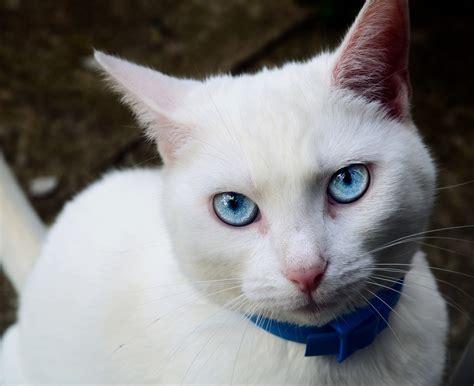 Bibit Eye Cat White white cat with blue reds flickr