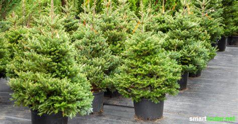 weihnachtsb ume im topf lebender weihnachtsbaum im topf pflegeanleitung