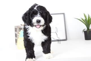 bernedoodle puppies for sale florida view ad bernedoodle puppy for sale florida naples usa