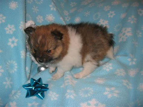 chocolate pomeranian puppy for sale chocolate merle pomeranian for sale breeds picture