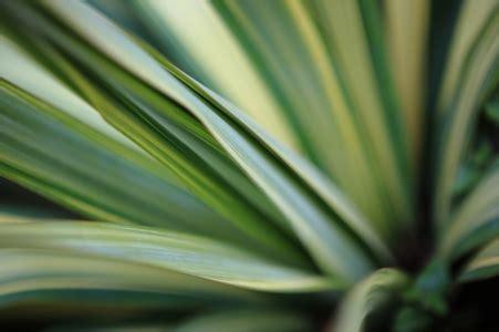 grow  yucca  seeds doityourselfcom
