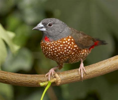 uccelli esotici da gabbia uccelli da gabbia amaranto di monteiro