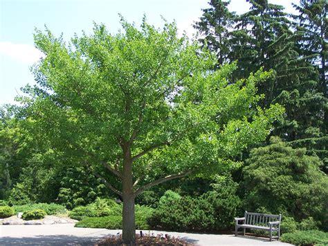 ginkgo biloba gingko ginkgo ginkgophyta maidenhair tree gingko biloba