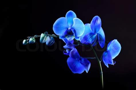 blue orchid flower on blackbackground stock photo colourbox