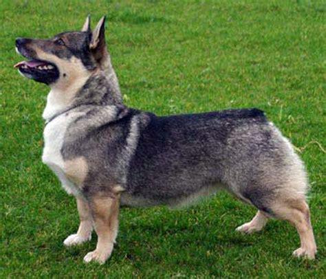 wolf corgi puppy vallhund looks kinda like a mix between a german shepard