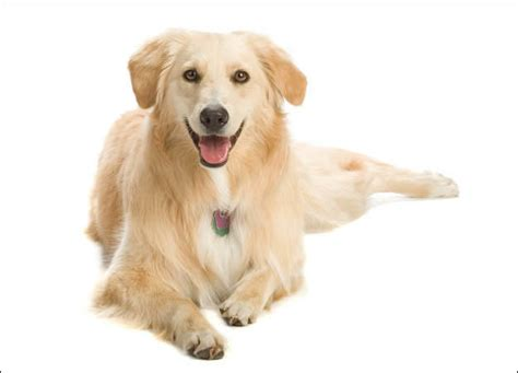dogs 101 golden retriever animal planet 8 groups dogs 101 animal planet