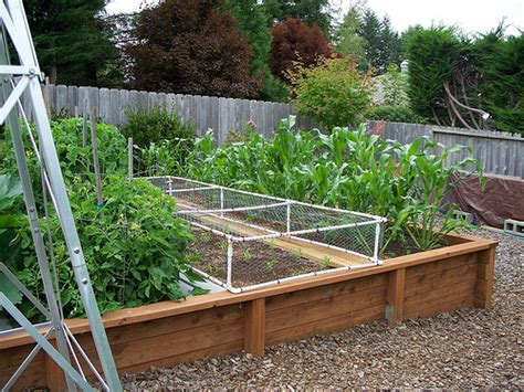 growing corn in raised beds new corn patch raised bed flickr photo sharing