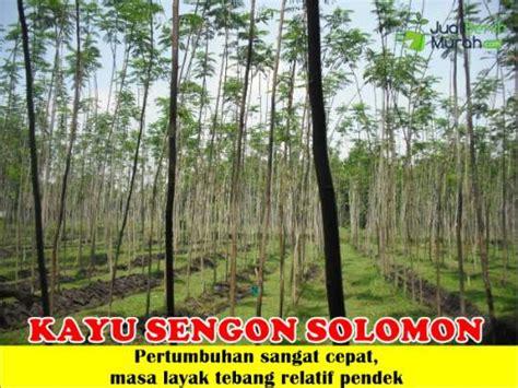 Bibit Kayu Sengon Solomon bibit sengon solomon 70 cm jualbenihmurah