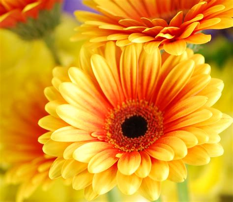 gerber daisies gerbera daisy fiori della vita