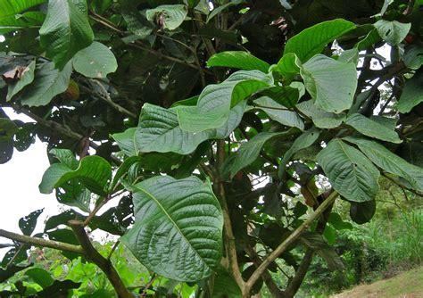 amazon plants amazon rainforest tree leaves www imgkid com the image